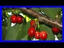 Planta milagrosa de Arándanos para prevenir infecciones de orina