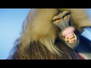 Why These Vegetarian Monkeys Have Sharp Predator Teeth