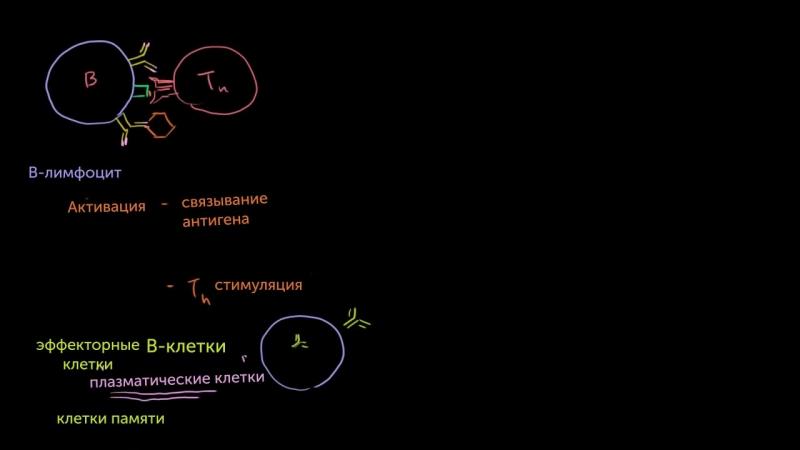 B-лимфоциты и T-лимфоциты популяций CD4 и CD8