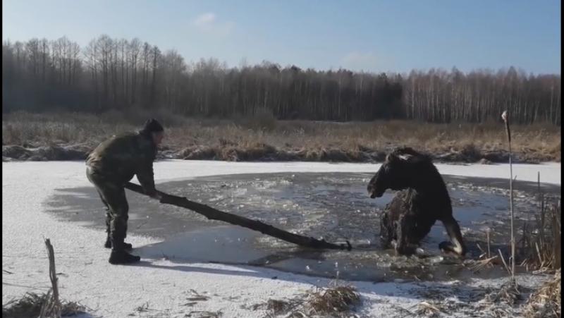 Белорусские милиционеры сняли на видео спасение лося, провалившегося под лед