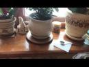 Выращивание розмарина из семян ( как комнатное растение)