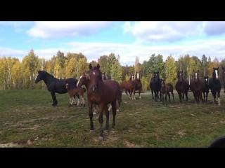 Табун Лошадей ...