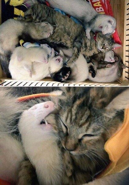 op ZH6K4DMA - Кот, выросший в семействе хорьков