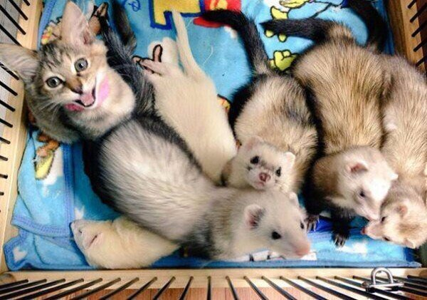 6i3RE3KUN0M - Кот, выросший в семействе хорьков