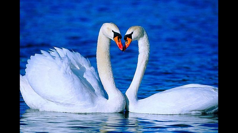 La cross save me swan lake