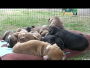 10 Pit Bull Puppies and 1 Brave Kitten and 1 Happy Pug!