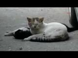 Кот реанимирует свою кошку...настоящая кошачья любовь!!!!
