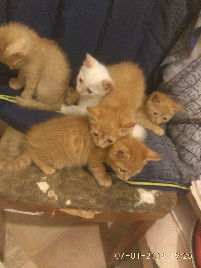 Отдаем котят 2 месяца у лотку приучины едят всё