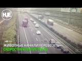 В Пекине смертельное ДТП из-за баранов попало на видео