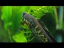 Channa aurantimaculata (змееголов золотая кобра)