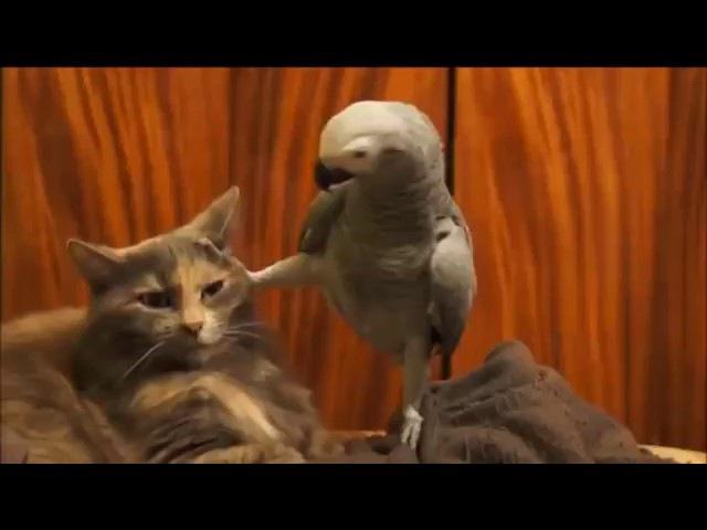Разговор попугай с котом как Наша Раша.