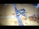 Гигантский водяной клоп белостома