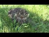 В Тайгане родился детеныш амурского леопарда по кличке Каспер