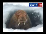Любопытный морж вмешался в работу вахтовиков на Ямале