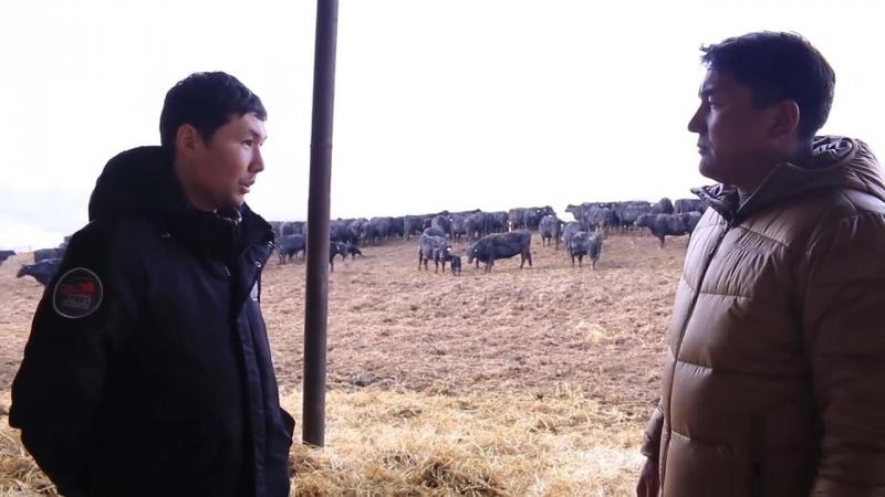 Алмасбек Әр қазақ бай болсын Ангусы в Казахстане Қазақстанның ангустары