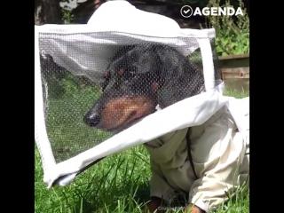 Такса-пчеловод