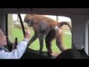 Бабуин подросток открыл дверь машины рядом с мальчиком Knowsley Safari