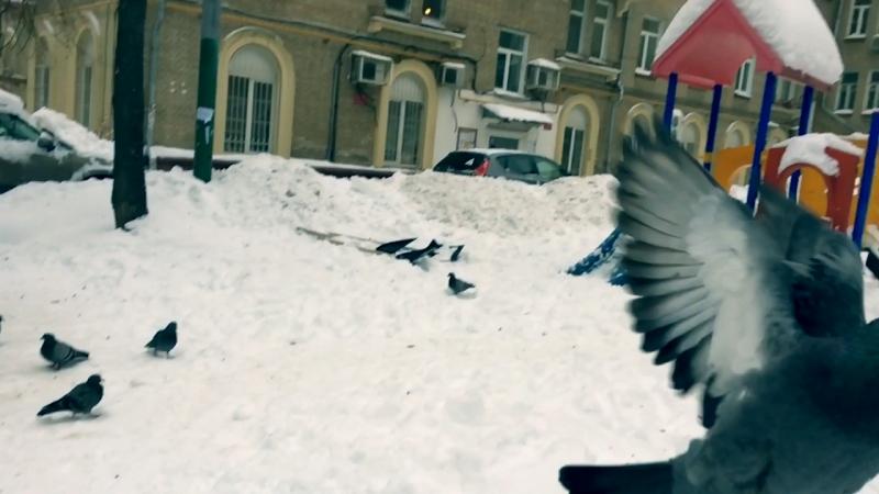 Моросящие голуби