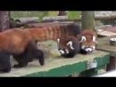 Красные панды во всей красе ...