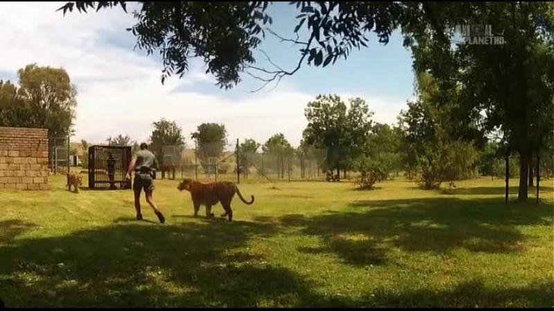 Animal Planet. Человек и львы (Джабула заказник больших кошек) / The Lion Man: Jabula Big Cat Sanctuary / 2014 / 5