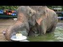 Слон впервые за 50 лет пробует торт
