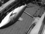 Scientific Sensation of the Century! Coelacanth - Zoo Quest to Madagascar - BBC