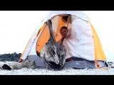 Пеликан решил, что палатка теперь его дом