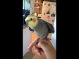 Попугай поёт дабстеп Оригинал Skrillex feat Sirah Bangarang