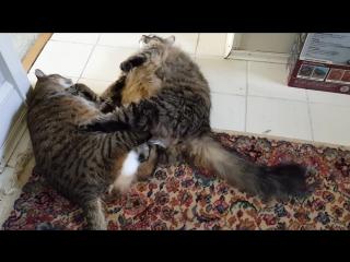 Эпичная схватка двух ленивых котов