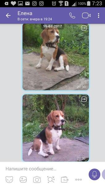 Пропала собака 19.10.2017, порода Бигль. Отзывается на кличку Марси. Б