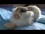 Bunny yawns