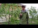 Как и чем удобрять плодовые деревья на примере Груши
