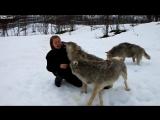 Девушка вырастила щенков волчат. Их встреча спустя 4 года в дикой природе