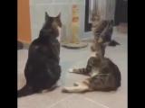 Котики и драмчик