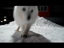 Песики. Белые, Арктические лисы. Песцы.