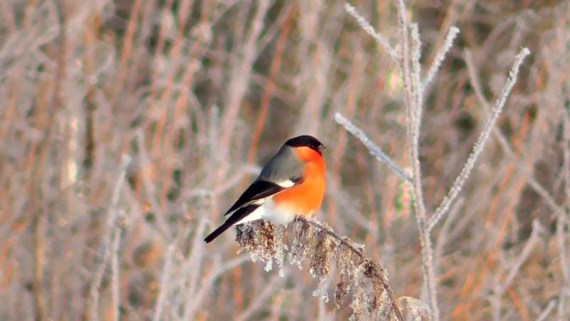 7Б самая красивая птица зимы