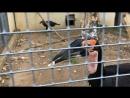 Парк птиц Воробьи Кафрский ворон