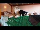 Четыре котёнка сделали большую собаку снова счастливой / О собаке, человеке, и не только