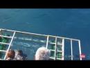 Белая акула протаранила защитную клетку и оказалась внутри нее вместе с водолазом.🤔😱