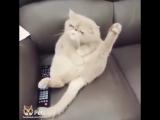 Кошка поёт песню битлс на диване :)