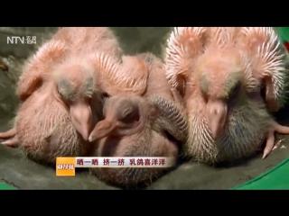 Голубь ''ГэЦзы''. Голуби ''ГэПай''. Голубеводство ''ЯнГэ Е''. Разведение голубей в промышленных масштабах, на особых фермах.