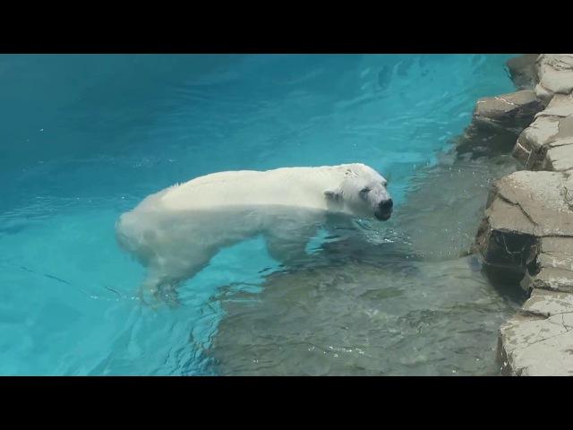 5 July 2017 Polar bear at Oji zoo, Kobe, Japan
