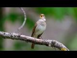 Усыпляющее, мелодичное пение соловья Как поет соловей Поющие птицы Sopping singing of a nightingale