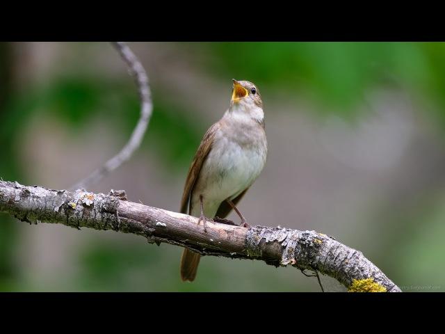 Усыпляющее, мелодичное пение соловья Как поет соловей Поющие птицы Sopping singing of a ni...