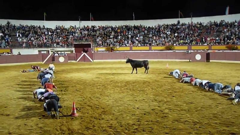 Deux chenilles humaines face à une vache landaise