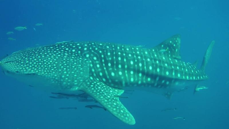 На четвёртый день на ластах китовая акула Курс Open Water Diver Ко-Чанг