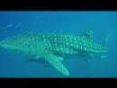 "На ""четвёртый день на ластах"" китовая акула : Курс Open Water Diver + Ко-Чанг"
