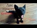 Лиса просит кушать | Лис кусается | Ой всё | Akira_fox | Уруру | Silver fox | Black | Fox life | 4K