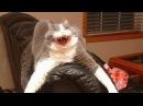Самое угарное видео. Приколы про котов ! Попробуй не заржать !