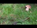 Сбор грибов в лесах карпатских
